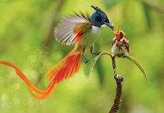 Asian Paradise Flycatcher feeding its chick.  Despite his fancy feathers, the male does the feeding and incubates eggs in the nest.