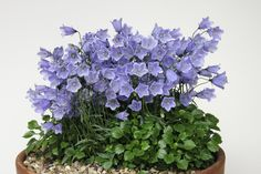 Campanula pusilla a.k.a. 'Fairy's Thimble' - buy online at   http://www.jeeperscreepers.info/seeplant.html?plantnumber=1.111.090