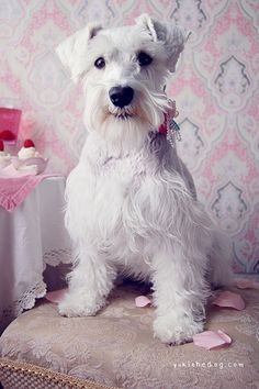 Yuki B-Day by Melissa Heard #Miniature #Schnauzer