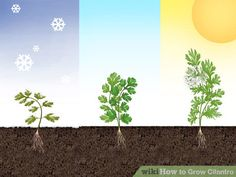 How to Grow Cilantro. Cilantro (Coriandrum sativum) is an herb with savory, deep green leaves that are harvested fresh and used to flavor a variety of Asian and Latin dishes. Growing Roses, Raised Garden Beds, Plants, Lawn And Garden, Growing Herbs, Growing Cilantro, Outdoor Gardens, Garden Planning, Indoor Plants