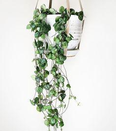 """Photo : Ceropegia woodii : cette """"chaîne de coeurs"""" est une plante grasse ! Facile à entretenir !"""