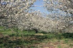 Valle del Jerte Cirerers Cerezos Cherry trees Cereijos