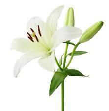 #Lily#flowers#leaves#amazingnature#present#gift#flychord#digitalpiano#Liliales#greenishlilyflower#Liliopsida#blue