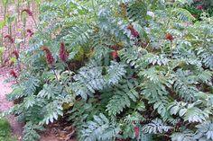 Honey bush Melianthus major - Google Search