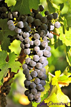 Grapes from Opus One