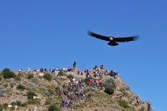 """Cruz del Condor, Colca Canyon, Peru """"Now that's Big Bird. Bolivia, Ecuador, Inca Art, Costa, Story Setting, Hidden Treasures, Big Bird, Taxi, Bald Eagle"""