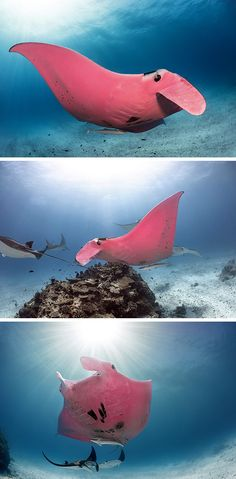 Amazing Underwater Photographs Capture the World's Only Known Pink Manta Ray Ocean Deep, Manta Ray, Colossal Art, Underwater Creatures, Doggy Stuff, Great Barrier Reef, Marine Life, Sea Creatures, Under The Sea