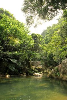 [Prop for diverse swamp flora, understory and immature layers] iriomote jungle #okinawa #japan