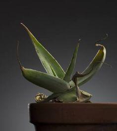 "Saatchi Art Artist Jac de Villiers; Photography, ""Aloe karasbergensis"" #art"