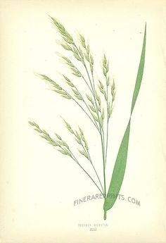 Genuine antique print of Tall Bearded Fescue Grass (Festuca gigantea) from Wild Grass by Edward Lowe