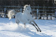 beautiful white horses in snow - Google Search