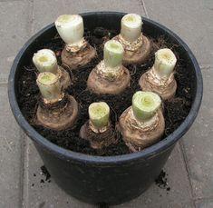 24) Witlof kweken – sjeftuintips Sweet Potato Quesadilla, Berry, Chicory Root, Wild Edibles, Natural Medicine, Herbalism, Plant Leaves, Succulents, Seeds