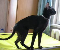 Oriental Shorthair - what a beautiful kitty! I Love Cats, Crazy Cats, Cool Cats, Beautiful Cats, Animals Beautiful, Cute Animals, Siamese Cats, Cats And Kittens, Black Siamese Cat