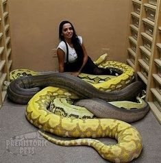Anaconda Snake facts, fights, size, length and attacks Cute Reptiles, Reptiles And Amphibians, Reticulated Python Morphs, Anaconda Snake, Giant Anaconda, Snake Facts, Giant Snake, Saltwater Crocodile, Animals Amazing