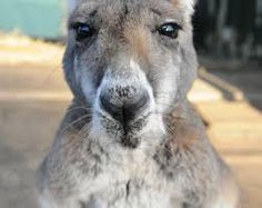 Image result for kangaroo face drawing