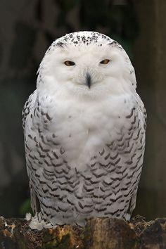 Snowy Owl at Turbary Woods Owl & Bird of Prey Sanctuary
