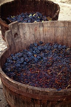 October Grape Harvest in Italy