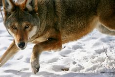 Action needed for red wolves! Please contact USFWS and let them know the Red Wolf Recovery Program needs to continue! That can be done in a simple email to cynthia_dohner@fws.gov  leopoldo_miranda@fws.gov  d_m_ashe@fws.gov  (Photo credit: Rebecca Bose, Wolf Conservation Center)