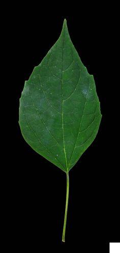 海州常山 Clerodendrum trichotomum