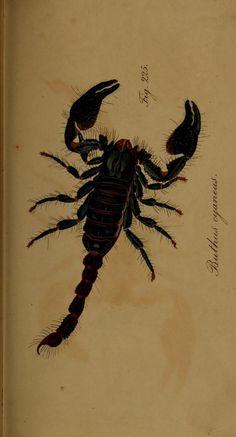 Die Arachniden : Getreu nach der Natur abgebildet und beschrieben / von C. L. Koch, 1831