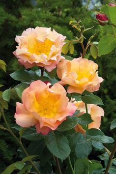 ~David Austin English Rose 'Fighting Temeraire' vma.