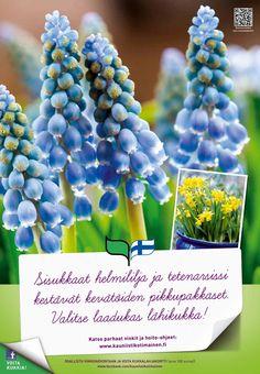 Kauniisti kotimainen - Sisukkaat helmililja ja narsissit 2012