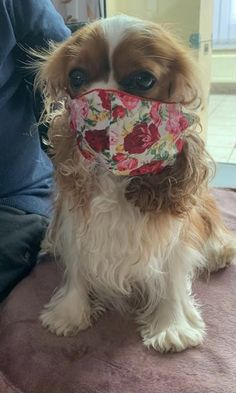 Cavalier King Charles Dog, King Charles Spaniel, Adorable Dogs, Cute Babies, Spaniels, Cute Baby Animals, Puppies, Pure Products, Funny Animals