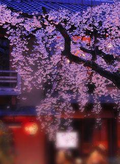 Cherry Blossoms at Night,Shirakawa,Kyoto