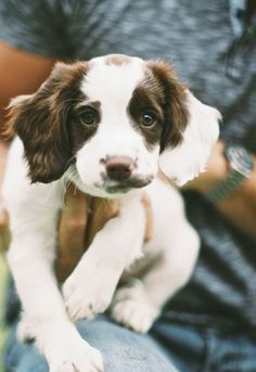 English Springer Spaniel puppy Maybe I should consider a new puppy. Cute Puppies, Cute Dogs, Dogs And Puppies, Doggies, Baby Dogs, Animals And Pets, Baby Animals, Cute Animals, Cocker