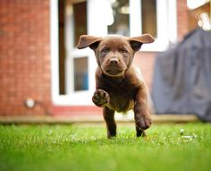 Mind Blowing Facts About Labrador Retrievers And Ideas. Amazing Facts About Labrador Retrievers And Ideas. Chocolate Lab Puppies, Chocolate Labs, Chocolate Labradors, Cute Puppies, Cute Dogs, Dogs And Puppies, Doggies, Golden Retriever, Labrador Retriever Dog