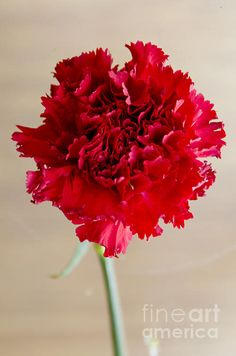 Red Carnation - Their color means love, pure gratifying love. Light red carnations stand for respect and admiration while deep red, scarlet carnations have a deeper meaning, a meaning of desire and passionate love. They are used in fraternities as a symbol of loyalty and survival and they became, in 1904, the official state flower of Ohio.   Red inspires beauty, heat, strength – red is the color of the heart, and mixed up in the blooms of the carnations, it can only express one feeling –…