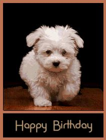Havanese – Intelligent and Funny Havanese Puppies, Bichon Frise, Dogs And Puppies, Doggies, Retriever Puppies, Happy Birthday Dog, Happy Birthday Pictures, Friend Birthday, Birthday Wishes