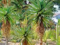 Image of Aloe thraskii