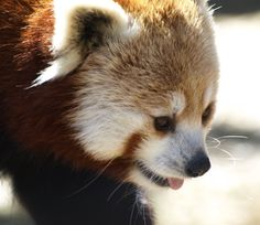 red panda bears | Red pandas at Rosamund Gifford Zoo in Syracuse, New York by Rose T.