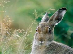 Cute and Strong… wild rabbit Wild Rabbit, Jack Rabbit, Beatrix Potter, Rabbit Wallpaper, Funny Rabbit, Walk In The Woods, Woodland Creatures, Woodland Animals, Wallpaper Pictures