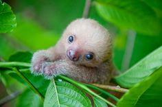 フタユビナマケモノのカーミー。生後わずか数カ月で木のぼりの練習をしている。(Ph...