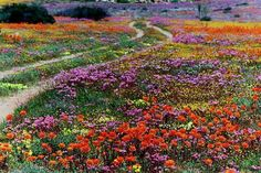 Namaqualand nextopia - spring wildflowers one day we will get to see this amazing show of wild flowers Champs, South Afrika, Spring Wildflowers, Spring Flowers, Belleza Natural, Africa Travel, Live, West Coast, Wild Flowers