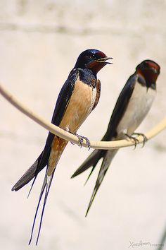 Barn Swallows (Hirundo rustica). Got to keep these guys around for bug control.