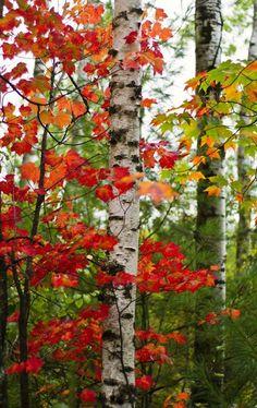 Beautiful autumn birch.