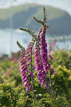 Foxgloves, Lundy Island