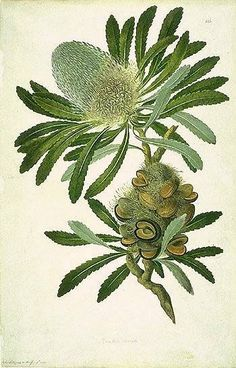 "An illustration of ""Banksia"", from Captain Cook's first voyage...typical of the elaborate botanical drawings whose execution Joseph Banks oversaw."