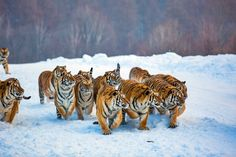 A group of Tigers - Animals Photo (36427898) - Fanpop