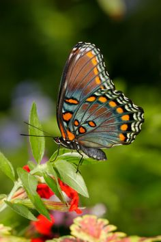 Close-up of a Red-spotted Purple Butterfly on a leaf (Limenitis arthemis astyanax)