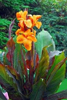 Canna 'Wyoming', Indian Shot 'Wyoming', Cana Lily Wyoming, Canna Lily bulbs, Canna lilies, Orange Canna Lilies