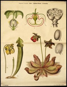 Onderwijsplaat met een hoofdafbeelding van Sarracenia, een insectenetende plant, met daaromheen zeven kleinere afbeeldingen van enkele details van deze plant.