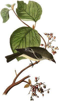 Friday-Freebie-Bird-Berries-GraphicsFairy.jpg (JPEG Image, 1049×1800 pixels)