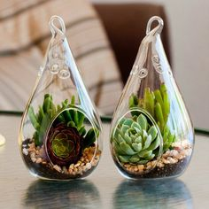 "Tear-drop Succulent Terrarium Kit Duo Collection: Purple Aeonium/Gollum Jade & Echeveria ""Violet Queen""/Gollum Jade"