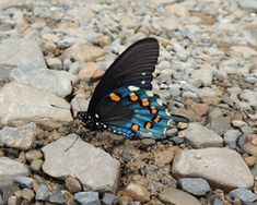 Pipevine Swallowtail from Maryland Butterflies