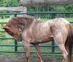 Brindle Roan Mustang Mare #horse #equine http://globalhorsecents.com