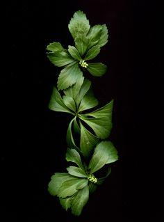 Pachysandra terminalis | horticultural art